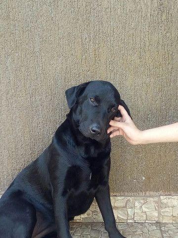 Labrador fêmea 7 meses - Foto 2