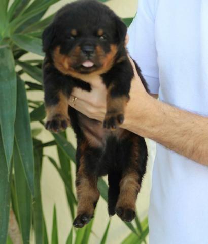 Filhote rottweiler pedigree cbkc