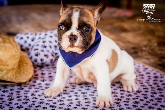 Promoção! Buldogue Francês Macho - Vila Canina Serigy