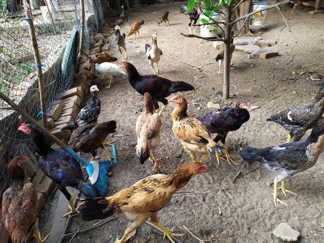 Vendo galinhas caipira legítimas - Foto 2