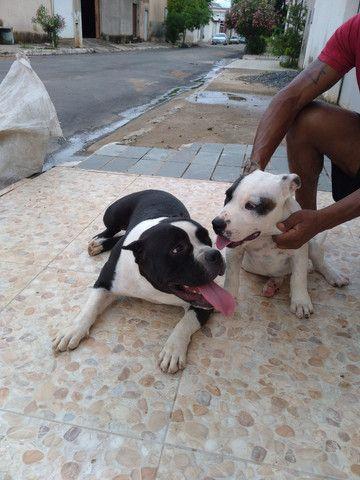 Vende se filhote American bullying ótima procedência cão diferenciado  - Foto 3