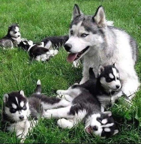Lindos filhotes de Husky Siberiano - Foto 2
