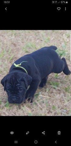 Cane corso pedigree, o Dog das celebridades,  Reserve o seu..  - Foto 6