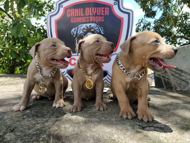 Bully, Monster, Pitbull - Foto 3