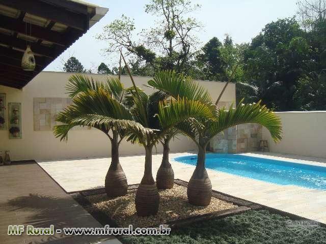 Palmeira Garrafão