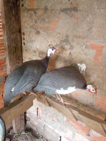 Galinha de Angola, Capote , tô fraco casal - Foto 2