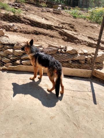 Vendo filhote de pastor alemão - Foto 2