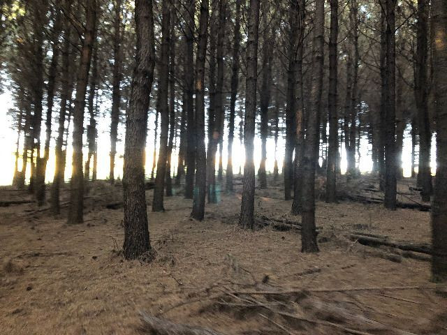 Pinus taeda 15 anos