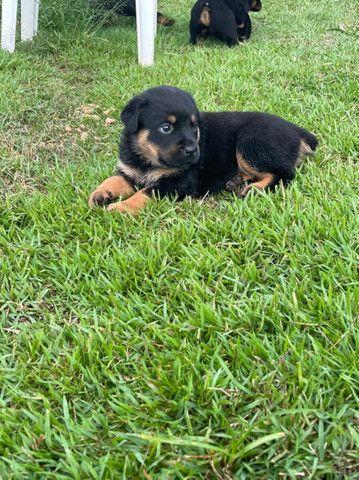 Vende-se filhote de Rottweiler  - Foto 4