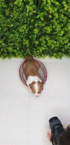 Filhotes de American Staffordshare terrier disponível. - Foto 5
