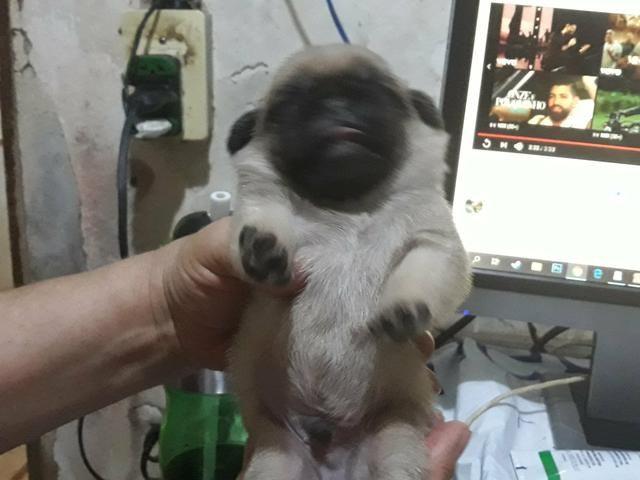 Mini Pug - Foto 3