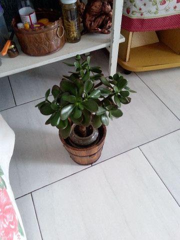 Vendo está linda planta da sorte chamada jade - Foto 2