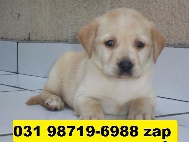 Canil Filhotes Cães Perfeitos BH Labrador Boxer Rottweiler Pastor Akita Golden