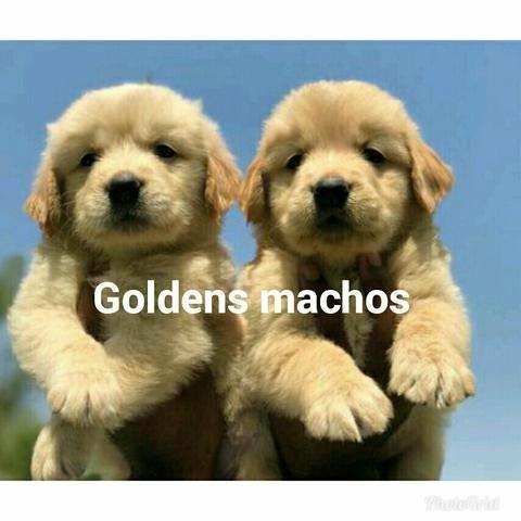 Goldens pra vender logo! Puros