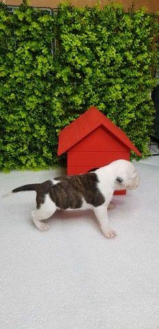 Filhotes de American Staffordshare terrier disponível. - Foto 4