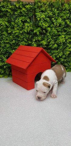 Filhotes de American Staffordshare terrier disponível. - Foto 3