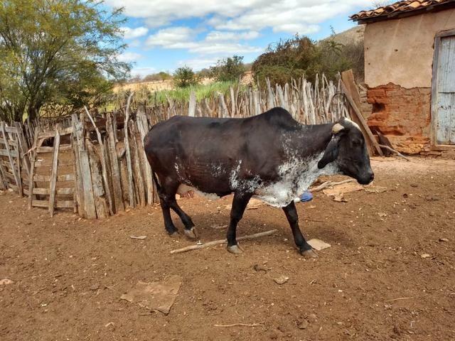 Vendemos vacas de leite Girolando e vacas jersolando com um alto padrão de leite - Foto 3