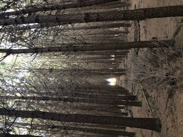 Pinus taeda 15 anos - Foto 2
