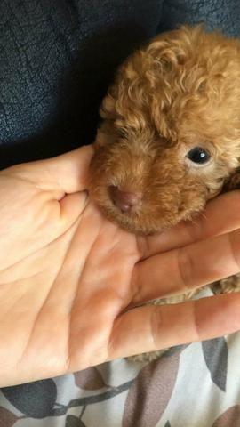 Poodle Toy Abricot (último filhote) - Foto 5