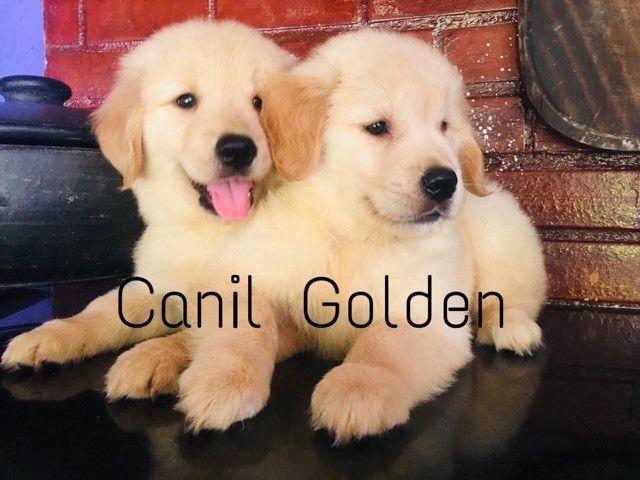 Golden Retrivier Filhote com Pedigree e Garantia de Saúde - Foto 2