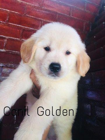Golden Retrivier Filhote com Pedigree e Garantia de Saúde - Foto 4