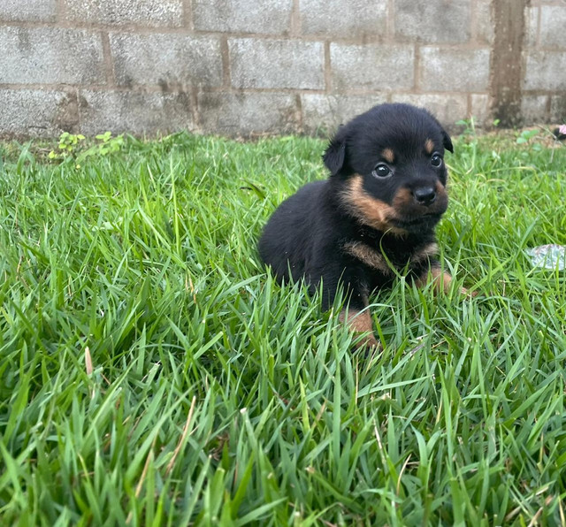 Vende-se filhote de Rottweiler  - Foto 3