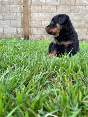 Vende-se filhote de Rottweiler  - Foto 5