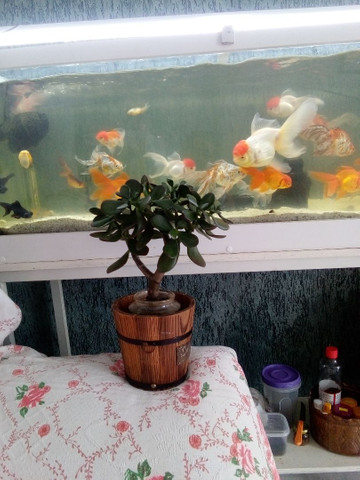 Vendo está linda planta da sorte chamada jade - Foto 4