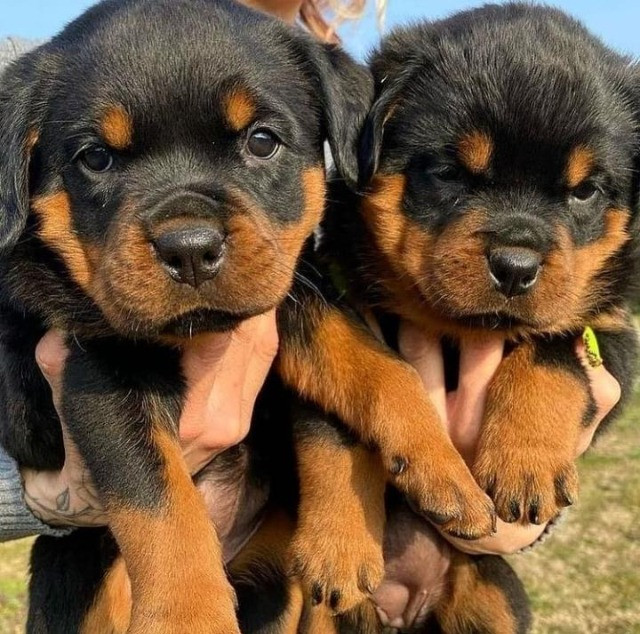 Rottweiler lindos filhotes com o maior suporte veterinário