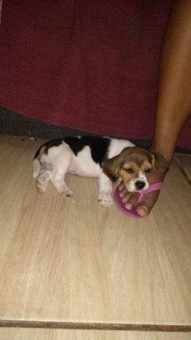 Beagle macho com pedigree. Para cruza. - Foto 5