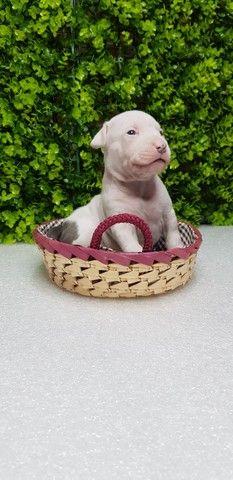 Filhotes de American Staffordshare terrier disponível. - Foto 2