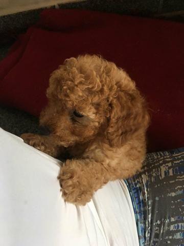 Poodle Toy Abricot (último filhote) - Foto 4