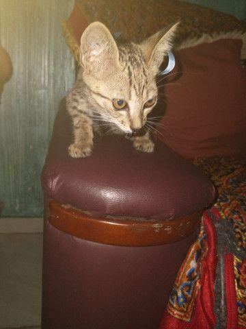 Gatinho para adoção - Foto 3