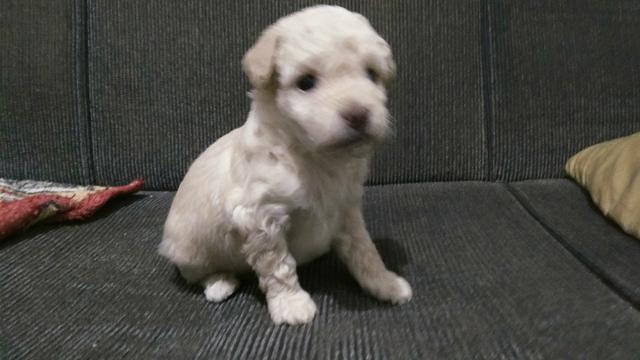 Poodle macho - Foto 3