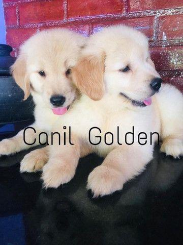 Golden Retrivier Filhote com Pedigree e Garantia de Saúde - Foto 3
