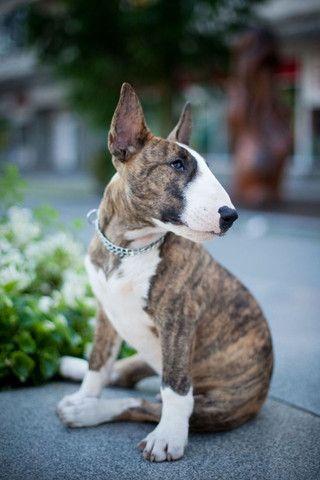 Bull Terrier, machos e fêmeas á pronta entrega! - Foto 3