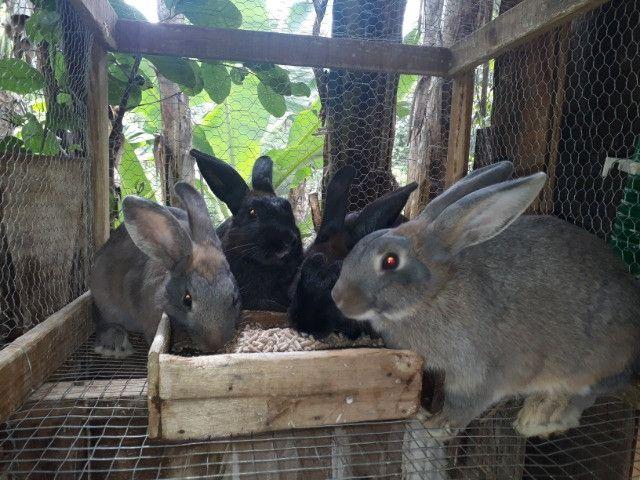 Vendo coelhos - Foto 3