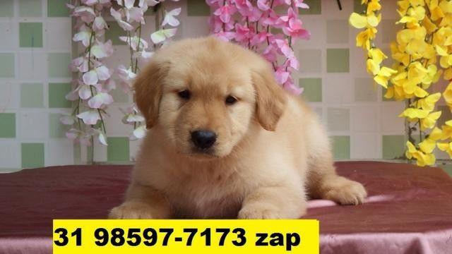 Canil Filhotes Cães Várias Raças BH Golden Pastor Rottweiler Labrador Akita