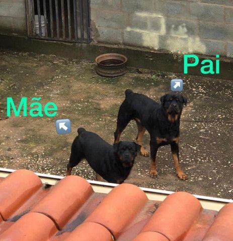Vende-se filhote de Rottweiler  - Foto 6