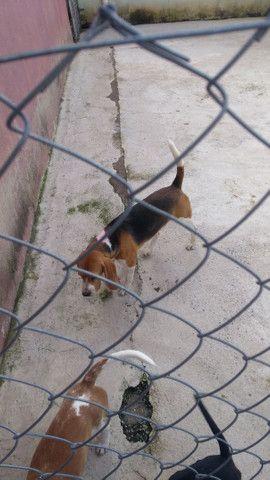 Beagle macho com pedigree. Para cruza.