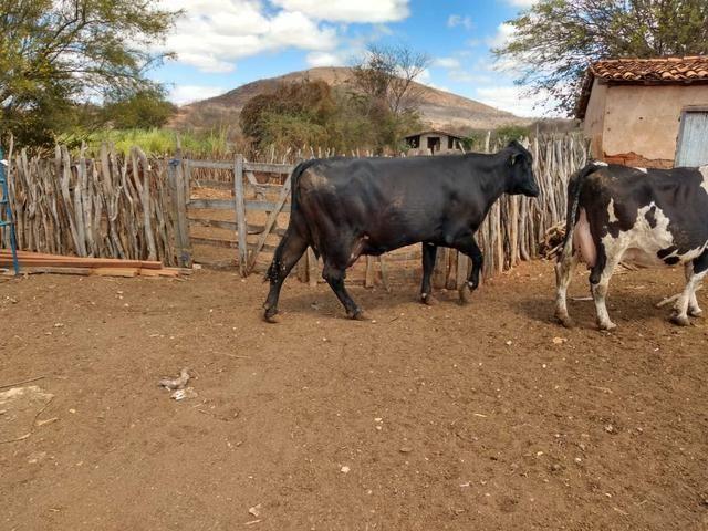 Vendemos vacas de leite Girolando e vacas jersolando com um alto padrão de leite