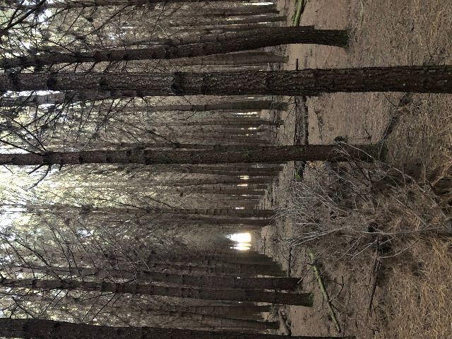 Pinus taeda 15 anos - Foto 3