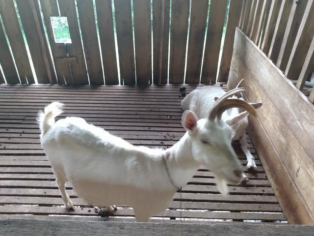 3 cabras saanen - Foto 2