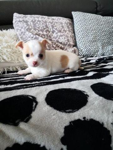 Chihuahua machinhos e fêmeas com garantias de vida e de saúde! - Foto 6