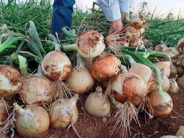 Vendo plantação de cebola sem veneno