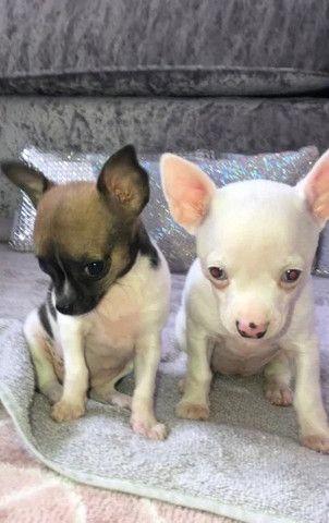 Chihuahua machinhos e fêmeas com garantias de vida e de saúde!