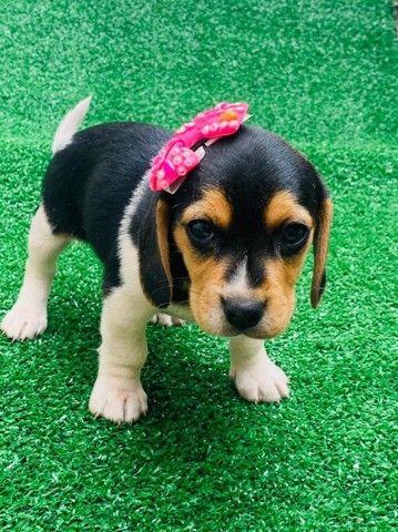 Lindas Beagle com Garantia e Procedência  - Foto 3