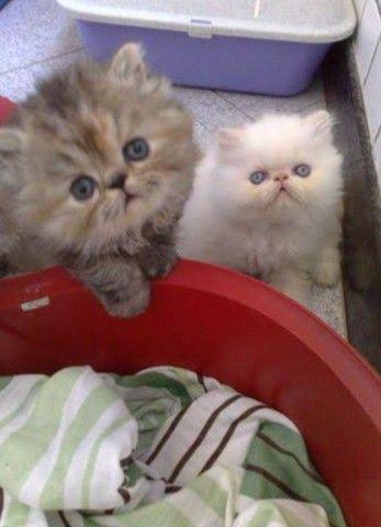 Lindos Gatos Persa