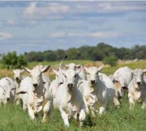 Gados para produção de carne  - Foto 3