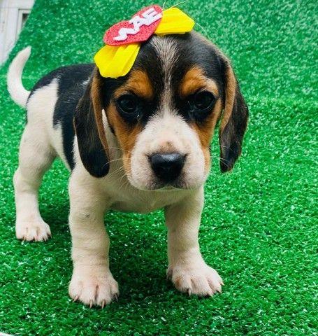 Lindas Beagle com Garantia e Procedência